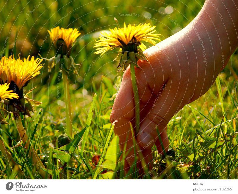 carpe diem III Glück Hand Umwelt Natur Pflanze Frühling Blume Blüte Löwenzahn Wiese Blühend Fröhlichkeit natürlich niedlich positiv gelb grün Kindheit