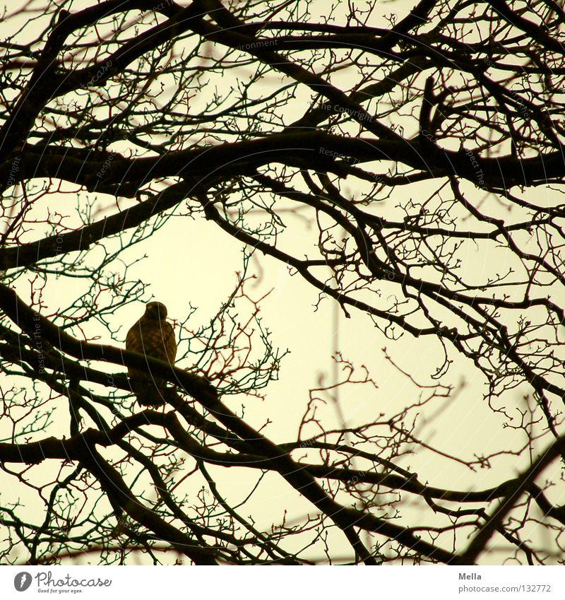 Bussardfrühling Umwelt Natur Tier Baum Zweige u. Äste Vogel Mäusebussard 1 sitzen natürlich grau Farbfoto Außenaufnahme Tag Silhouette Menschenleer schwarz