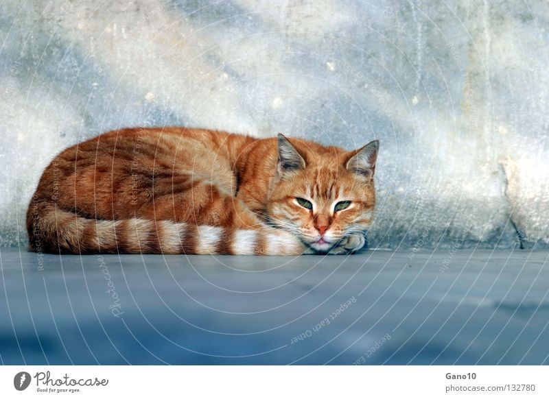 CATTIE Katze rothaarig intensiv Hauskatze Landraubtier Raubkatze Mörder Fell Schwanz Pfote Krallen ruhig Erholung lau Streifen Schnurrbarthaare gefährlich
