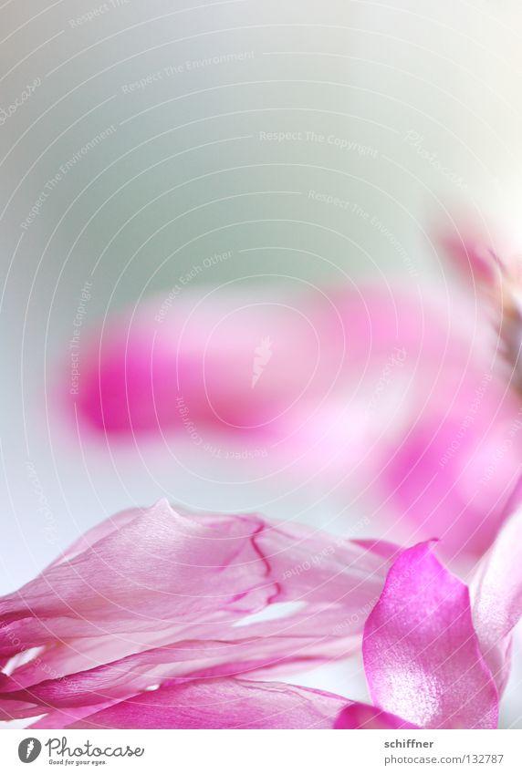 Rosa für Mädchen Blume Blüte rosa Hintergrundbild Rose zart Blühend sanft zerbrechlich mädchenhaft flüchtig Weihnachtskaktus