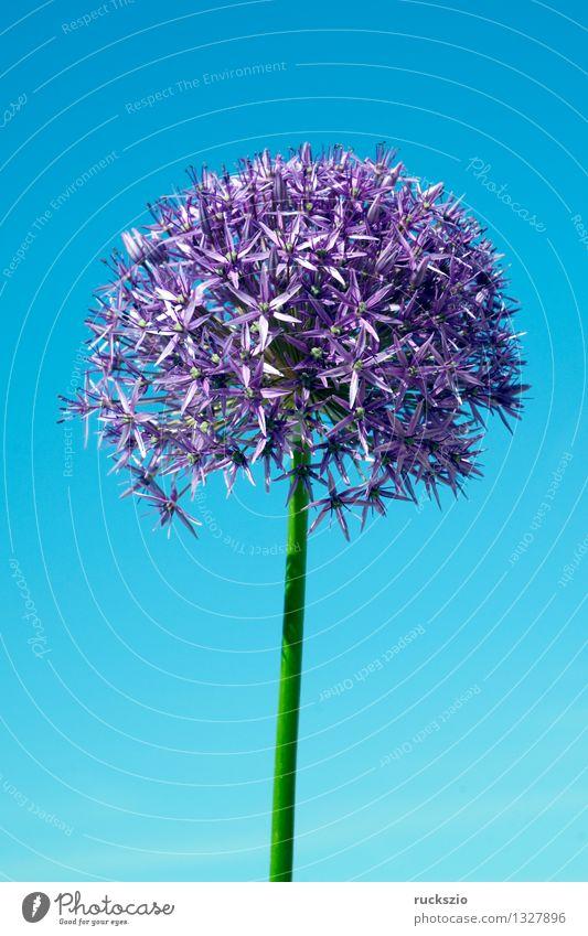 Riesenlauch, Allium, giganteum, Natur blau Pflanze Blüte Hintergrundbild frei Blühend violett Asien Stillleben Objektfotografie Knolle Zwiebel neutral Porree Blumenbeet