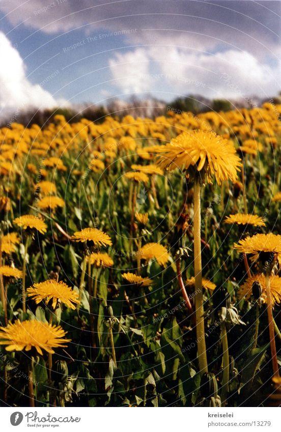 Löwenzahnwiese Himmel Blume Wolken Wiese
