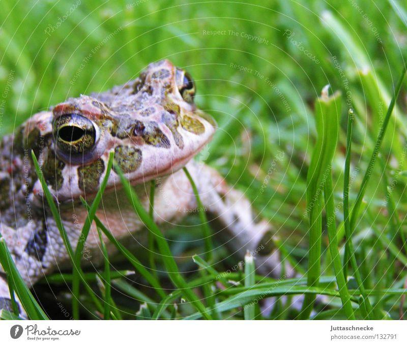 Hey Alda!!!! Gras Kaulquappe grün Quaken Umweltschutz unerschütterlich schmollen Teich See Europa Gewässer Gartenteich Biotop Unke Froschkönig fordern