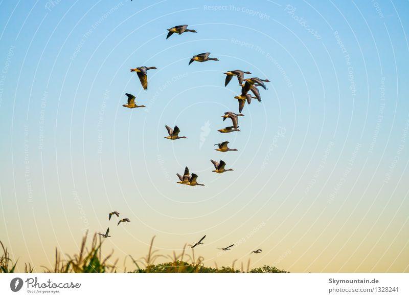 Deformationsflug Umwelt Natur Tier Wolkenloser Himmel Horizont Wiese Feld Vogel 4 Tiergruppe Schwarm Tierfamilie fliegen Glück Unendlichkeit natürlich