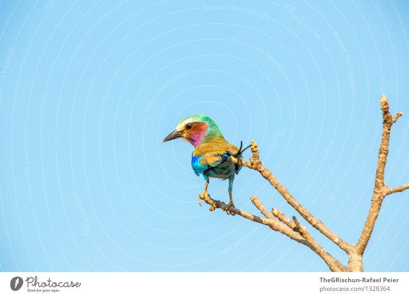 Bunt Tier Vogel 1 blau braun mehrfarbig gelb gold grün violett rosa rot schwarz weiß Lebewesen Schnabel fliegen Metallfeder Ast ruhen sitzen edel elegant