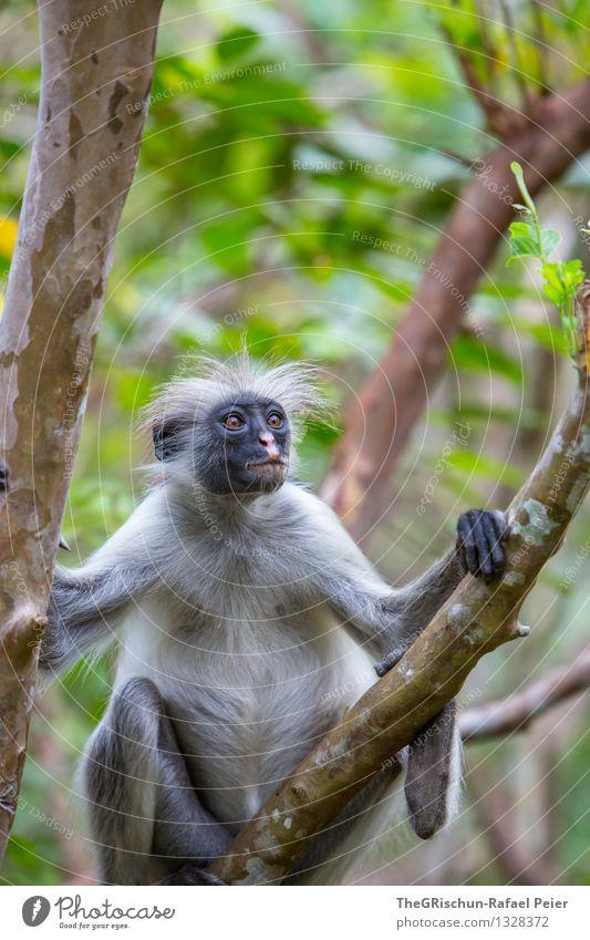 Äffchen Tier 1 braun gelb grau grün schwarz silber weiß Affen Menschenaffen Baum Sansibar Erholung hängen Haare & Frisuren Gesicht Ausdruck Blatt Lebewesen Fell