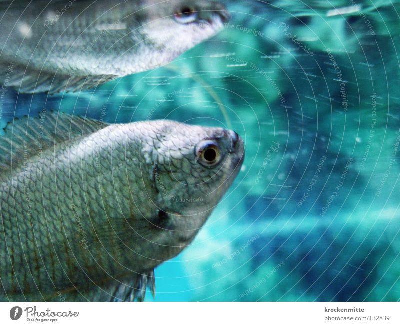 Kennen wir uns? Wasser blau Fisch tauchen Aquarium Verabredung Scheune Spiegelbild Schwimmhilfe Doppelgänger Wasseroberfläche Kieme