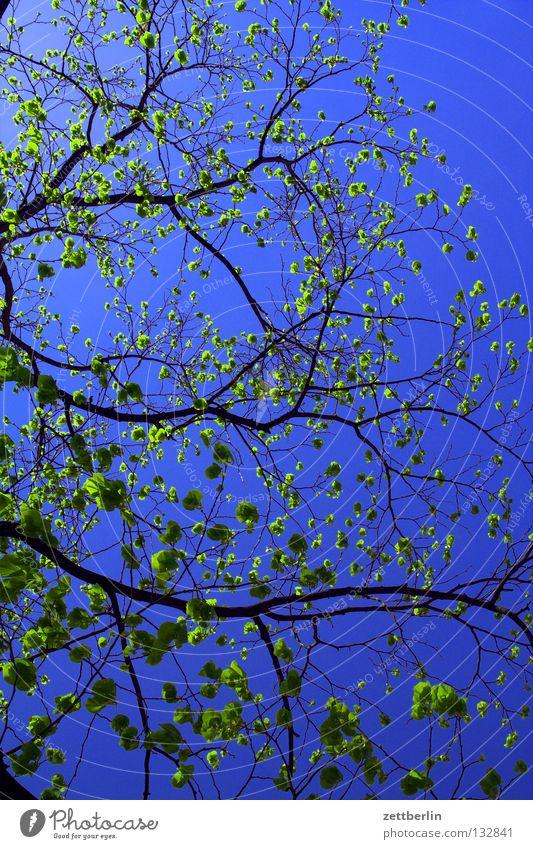 Ende April Frühling Blüte Pflanze Reifezeit sprießen Frühlingsgefühle Baum himmelblau himmelgrün Himmel Blütenknospen Wachstum Ast Zweig