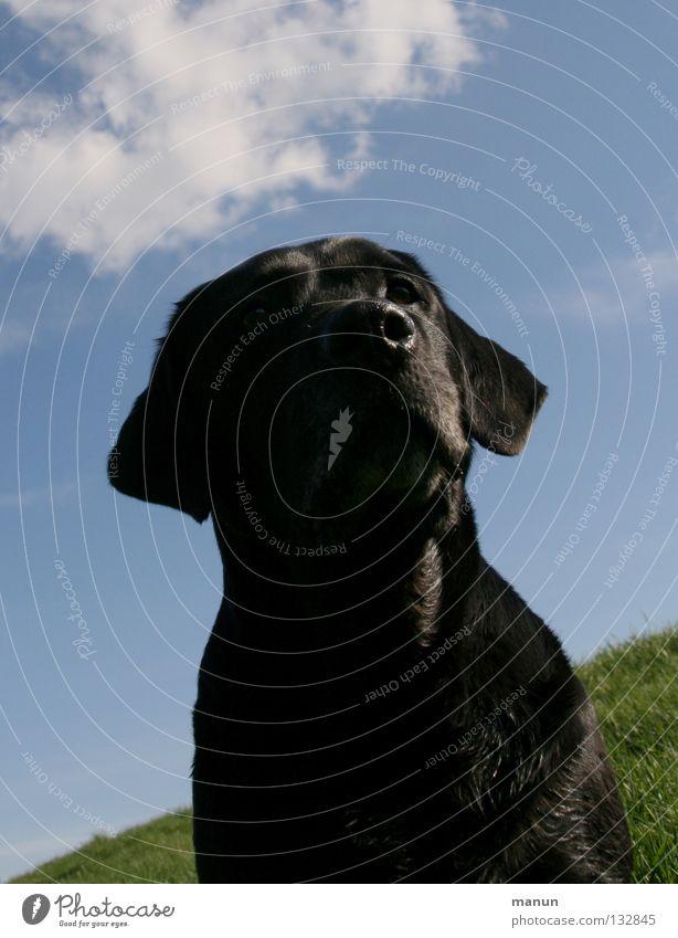 Erhaben Himmel Hund grün Sommer Tier Wolken schwarz ruhig Wiese Vertrauen Gelassenheit edel Säugetier Ausdauer geduldig erhaben