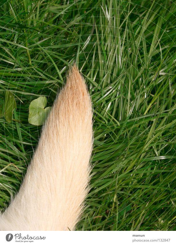 Ein Stück Hund grün Sommer Blatt Tier ruhig Wiese Gras Haare & Frisuren Garten blond gold Spitze Fell Säugetier Schwanz