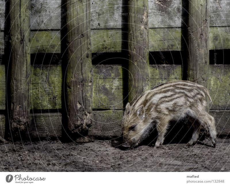 Frischling Ferkel Wildschwein Grunzen niedlich Streifen gestreift Fell grau braun schwarz grün Holz wühlen Frieden Wildpark füttern Fressen Säugetier Geruch