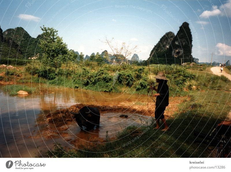 Wasserbüffel wollen baden Wasser Ferien & Urlaub & Reisen Asien China Chinese Wasserbüffel