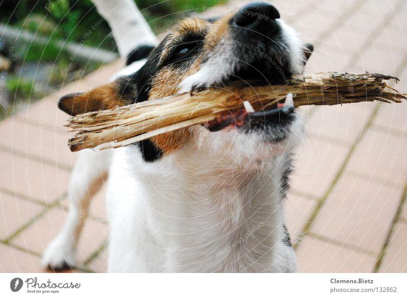 Los wirf den Stock Baum Tier Wiese Holz Hund Gebiss Sträucher Bodenbelag Säugetier