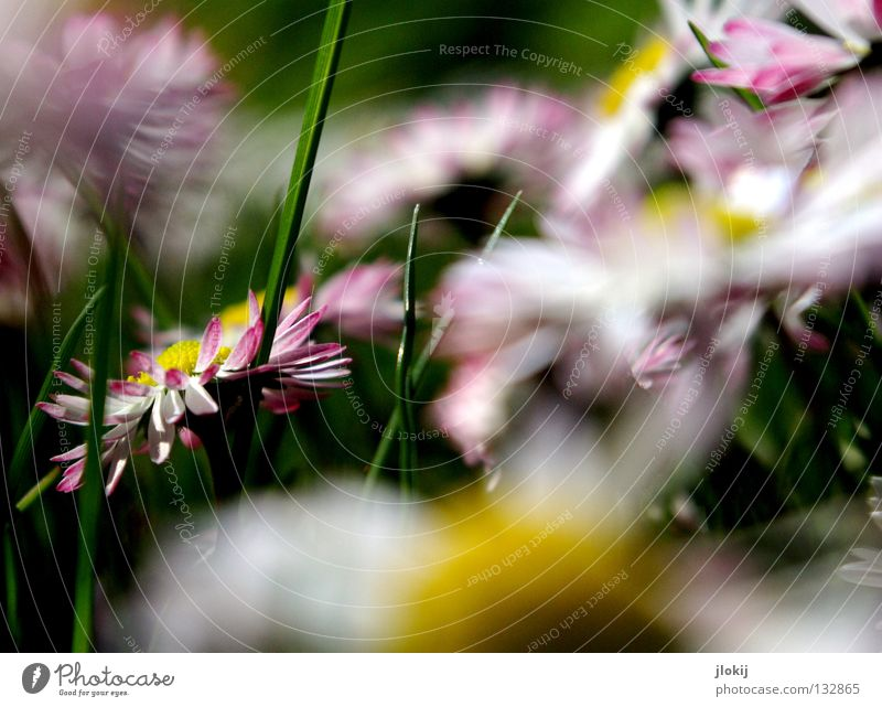 Durcheinander Gänseblümchen Blume Pflanze Wiese grün Frühling Sommer Blüte Gras Unschärfe weiß Hintergrundbild Natur lieblich zart weich Froschperspektive klein