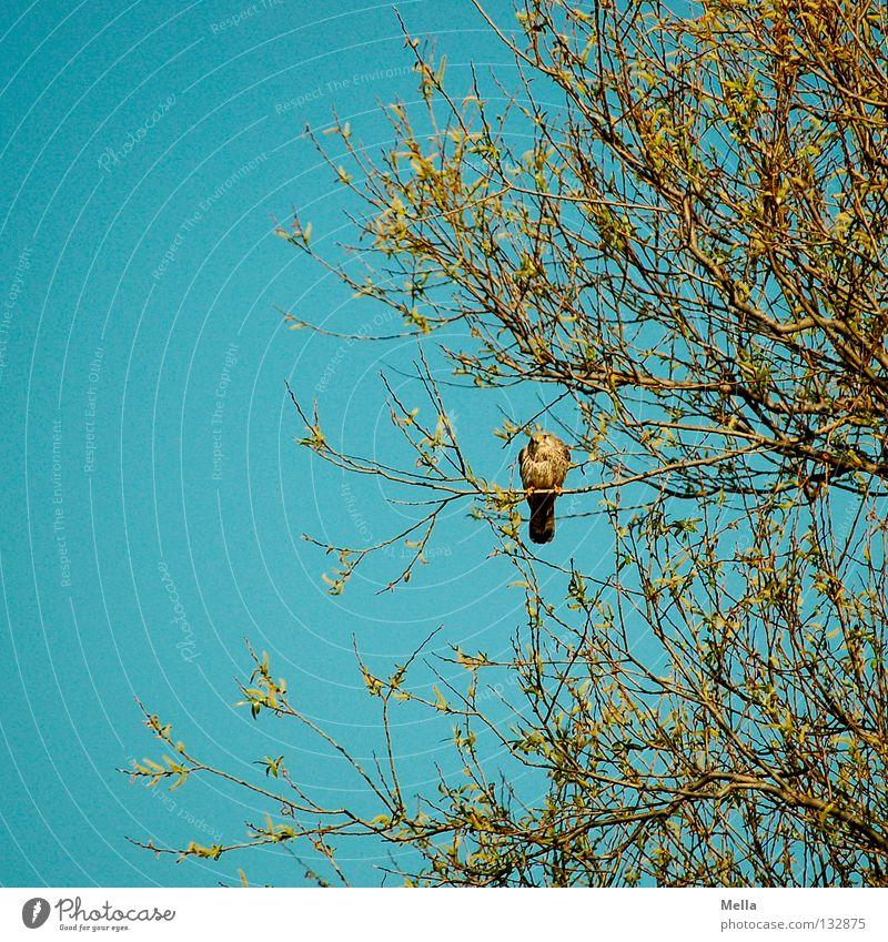 Falkenfrühling III Umwelt Natur Pflanze Tier Frühling Baum Vogel Turmfalke 1 hocken sitzen natürlich blau Einsamkeit Farbfoto Außenaufnahme Menschenleer Tag