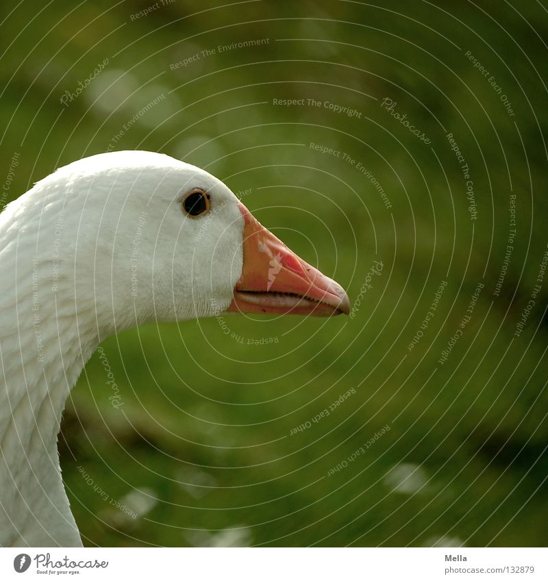 Ich bin der Martin Gans Hausgans Silhouette Schnabel weiß grün Bauernhof ökologisch Idylle ländlich passend Umwelt Wiese freilaufend Vogel Profil orange