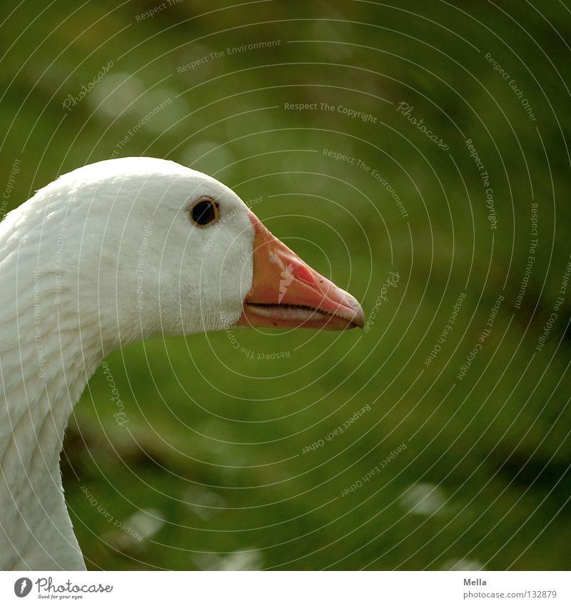 Ich bin der Martin weiß grün Wiese Umwelt orange Vogel Rasen Schutz Idylle Bauernhof Landwirtschaft Vergangenheit Weide Schnabel ökologisch Gans
