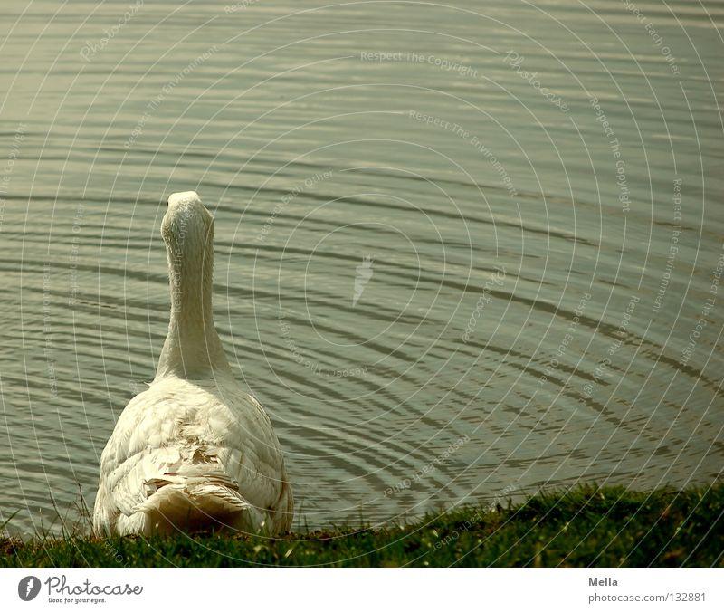 Soll ich oder soll ich nicht? Gans Hausgans See Teich Wellen weiß grün Bauernhof ökologisch Idylle ländlich passend Umwelt Wiese freilaufend Vogel Wasser