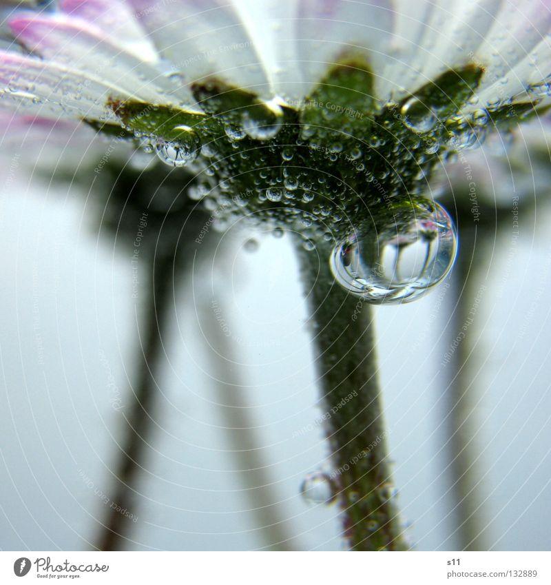 Mirror In Water Unterwasseraufnahme über Wasser leicht fein Blume Blüte Pflanze Wiese Wiesenblume Gänseblümchen Wasserblase Luftblase Spiegel kleben