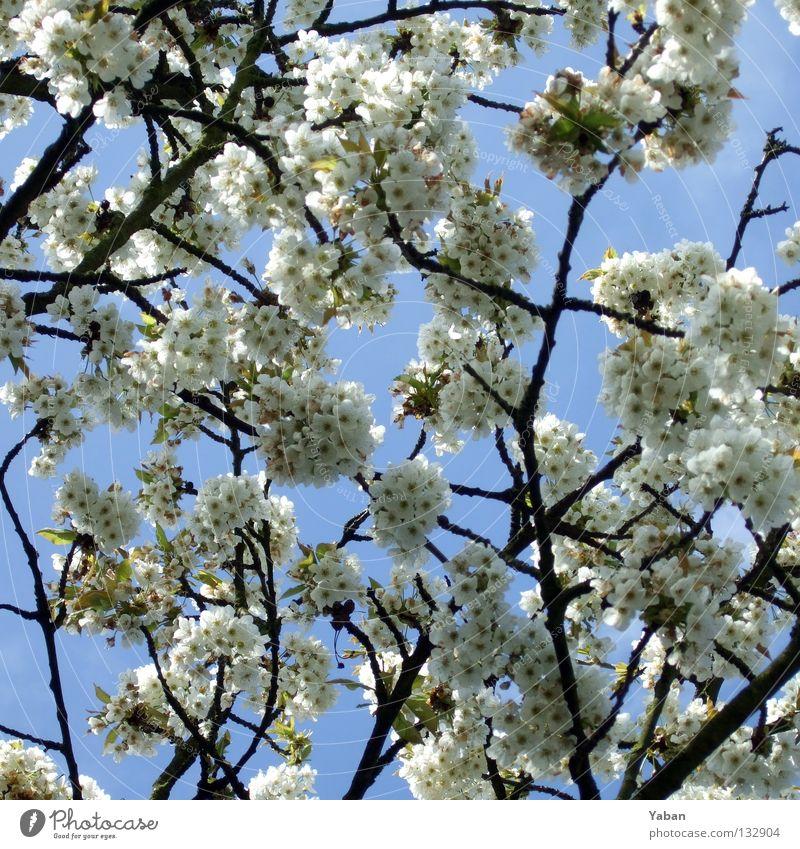 Sakura Natur Baum Blüte Frühling Japan Schönes Wetter Botanik Kirsche Kirschblüten sprießen