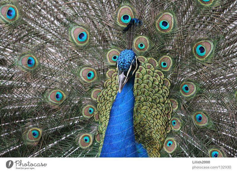 Dandy schön grün blau Tier Farbe Vogel Feder Zoo Hals Schnabel eitel Pfau Brunft Pfauenfeder