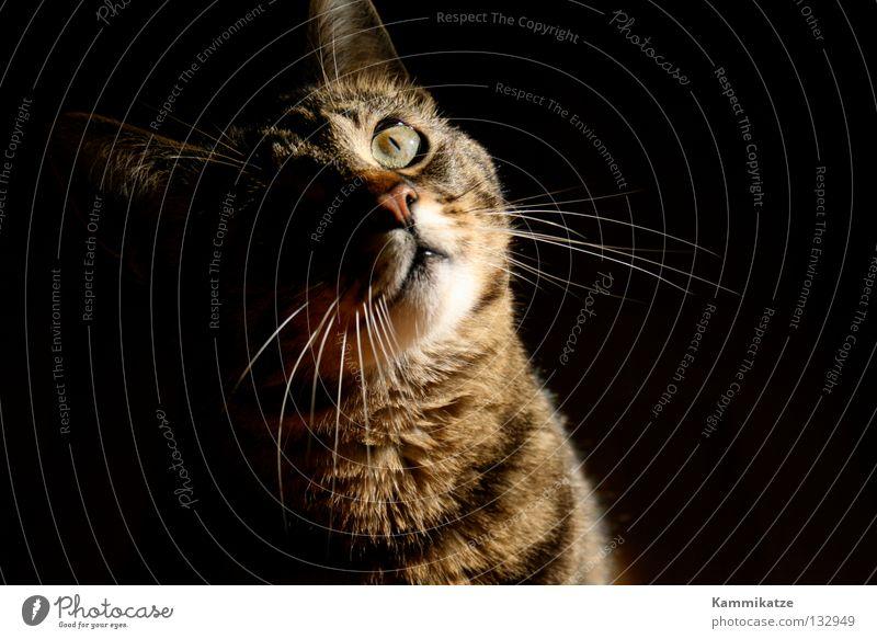 Licht und Schatten Katze Fell Landraubtier Katzenpfote Schnauze Sonnenstrahlen Neugier beobachten Blick Säugetier Hauskatze getigert