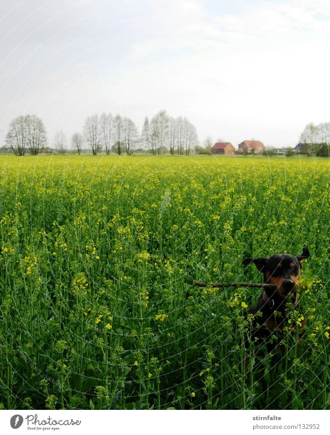 Frühlingsgefühle Hund Raps Feld Rapsfeld Horizont Himmel Stock springen grün Blühend Spielen toben Blüte apportieren Bewegung Erneuerbare Energie Elektrizität
