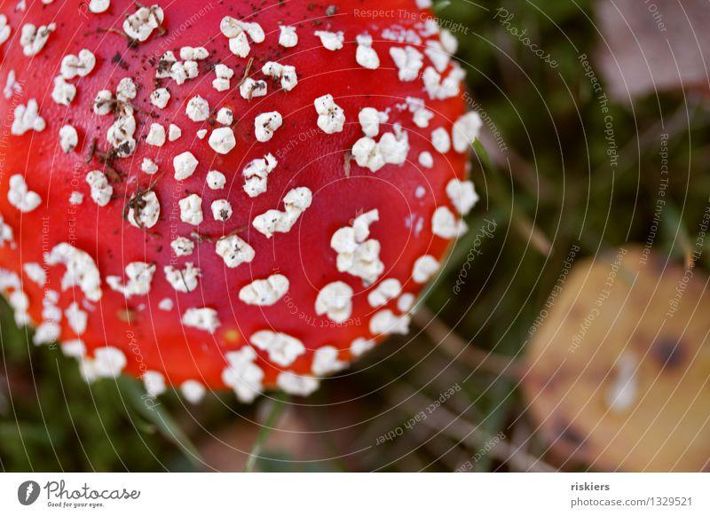 Glückspilz Umwelt Natur Pflanze Herbst Pilz Fliegenpilz Wald leuchten Wachstum ästhetisch frisch rot schön Idylle Farbfoto mehrfarbig Außenaufnahme Menschenleer