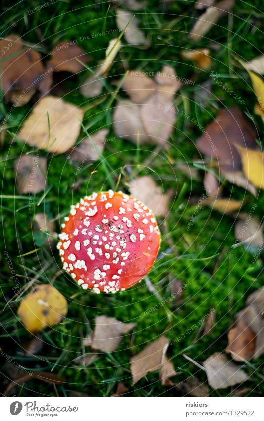 Glückspilz ii Umwelt Natur Pflanze Herbst Fliegenpilz Pilz Wald leuchten Wachstum ästhetisch Fröhlichkeit frisch schön rot Idylle Farbfoto mehrfarbig