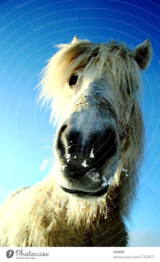 islandpferd Pferd Isländer Island Ponys kalt weiß Säugetier Froschperpektive Schnee blau Himmel