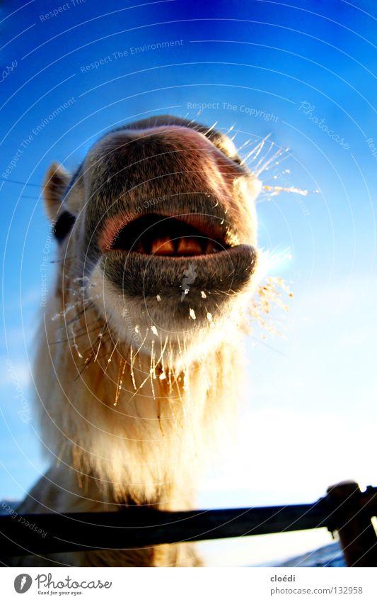 islandpferd Himmel weiß blau kalt Schnee lustig Pferd Island Säugetier Maul Kamel Ponys Isländer Island Ponys