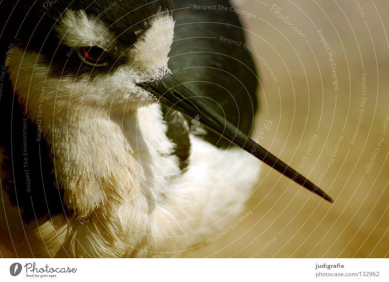 800 | Rausgepickt Natur weiß schwarz Tier Farbe Auge Leben Umwelt Vogel Feder Schnabel Zugvogel Stelzenläufer Säbelschnäbler