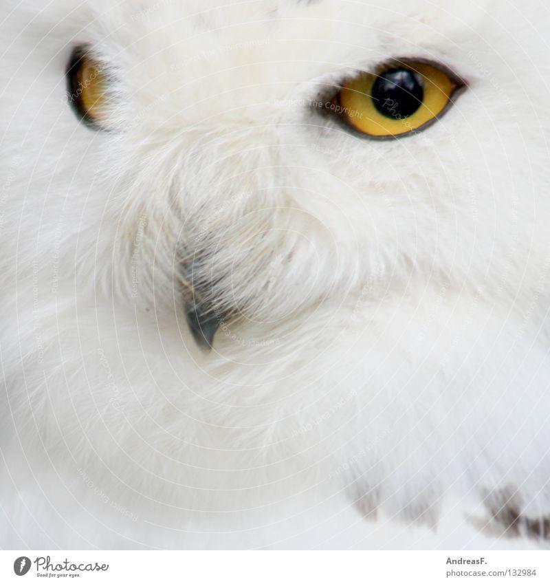 SchneeEule Natur weiß Winter Tier Auge Schnee Vogel Wildtier Feder Sauberkeit rein Zoo Konzentration verstecken mystisch Märchen