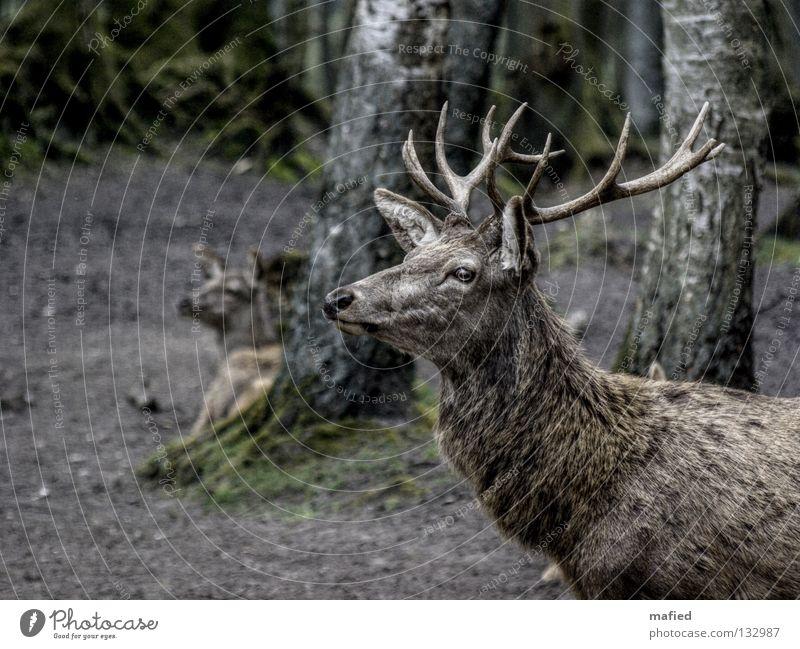Rothirsch Hirsche Wildpark Horn Wald grau braun Silhouette Frieden Vorgesetzter Rudel Wachsamkeit beeindruckend Säugetier Profil zutraulich Blick Wildtier sanft