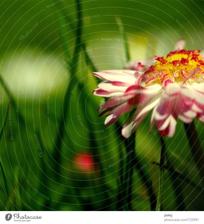 Tausendschönchen Gänseblümchen Blume Pflanze Wiese grün Frühling Sommer Blüte Gras Unschärfe weiß Hintergrundbild Natur lieblich zart weich Froschperspektive