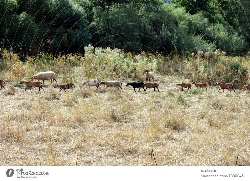Coburger, Fuchsschaf, Kamerunschaf Tier Wiese klein gefährlich bedrohlich Bauernhof Haustier Säugetier Schaf Nutztier Paarhufer Wiederkäuer Westafrika