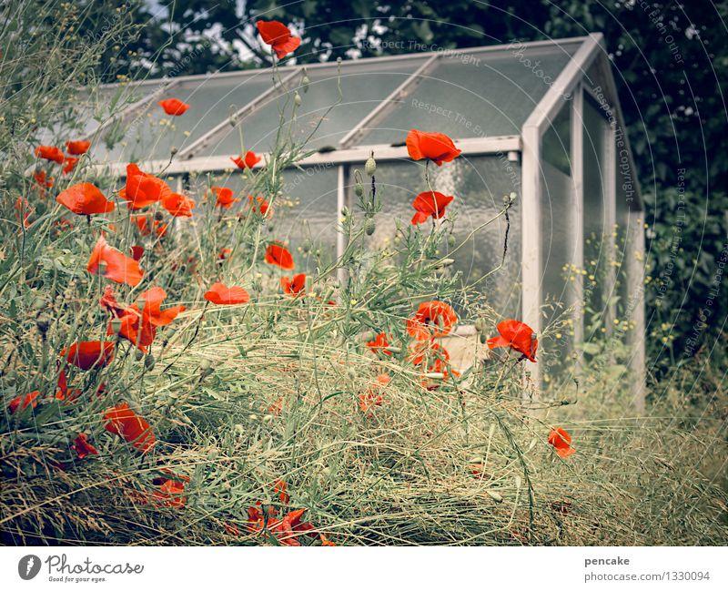 mohntag im garten Natur Pflanze Garten Haus authentisch einzigartig Wärme feminin Idylle Mohnblüte Gewächshaus Häusliches Leben Farbfoto Außenaufnahme