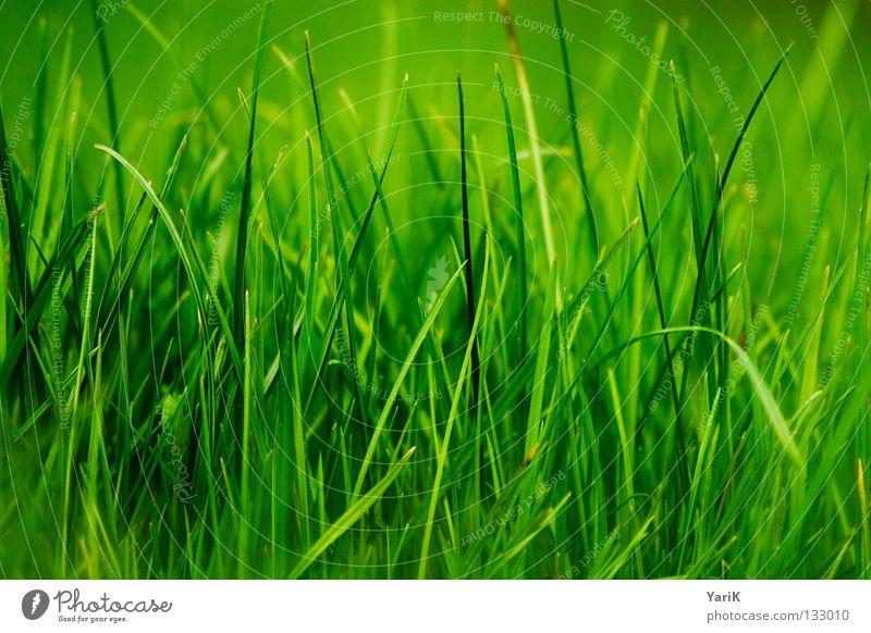 grasgrün Wiese Gras Halm dunkelgrün giftgrün Hoffnung Frühling Sommer Fröhlichkeit saftig Kraft Pflanze Makroaufnahme Ferne Rasen Glück Freude happy gut