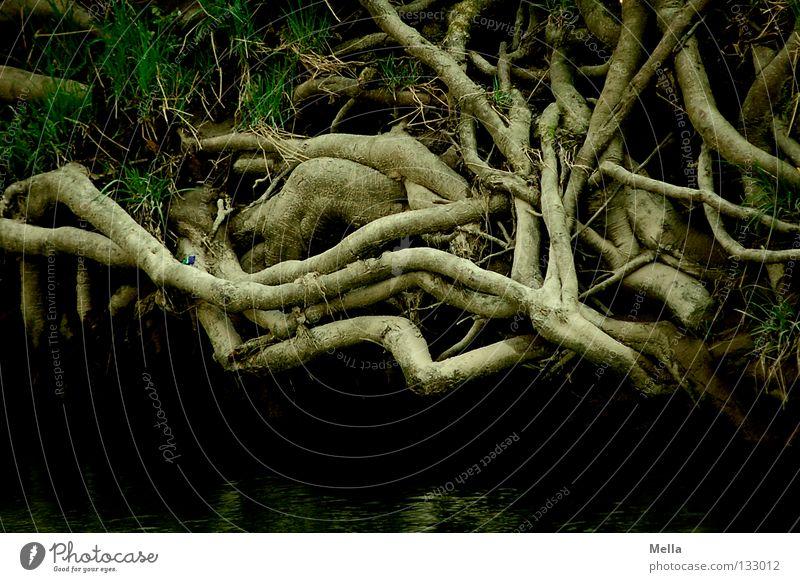 Wurzelwerk Umwelt Natur Pflanze Baum Knoten Wachstum dunkel gruselig natürlich braun Farbfoto Außenaufnahme Menschenleer Tag