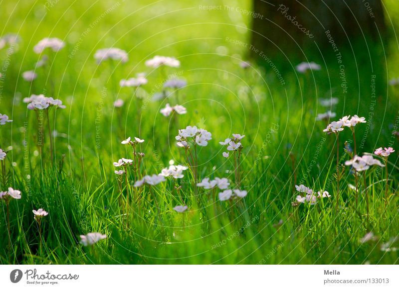 Frühlingsromantik Wiese Blume Gras Blüte Baum Sonnenlicht Romantik Gute Laune Park schön Rasen Baumstamm Schatten Impressionismus Freifläche Wiesen-Schaumkraut