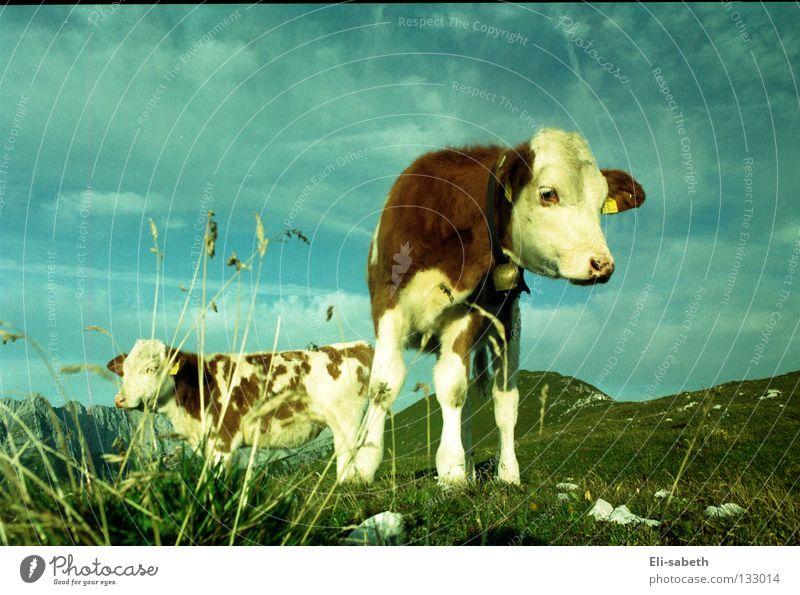 muh grün Wiese Alm ruhig Kuh Tier Kalb Gras saftig Sommer Außenaufnahme Weitwinkel Berge u. Gebirge Himmel Natur Weide Glück Freiheit