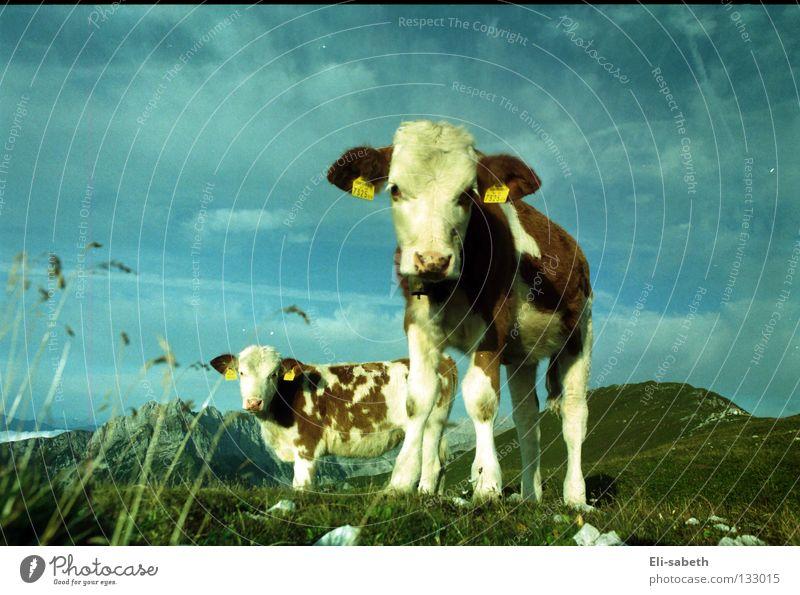 muh grün Wiese Alm ruhig Kuh Tier Kalb Gras saftig Sommer Außenaufnahme Weitwinkel unschuldig Berge u. Gebirge Himmel Natur Weide Glück Freiheit