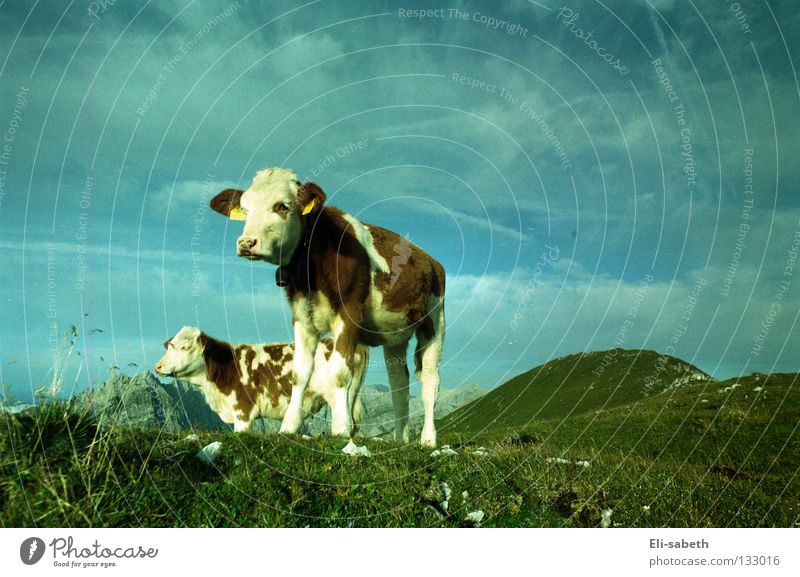 muh grün Wiese Alm ruhig Kuh Tier Kalb Gras saftig Sommer Außenaufnahme Weitwinkel Ferne Säugetier Berge u. Gebirge Kraft Himmel Natur Weide Glück Freiheit