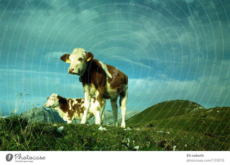 muh Natur Himmel grün Sommer ruhig Tier Ferne Wiese Gras Berge u. Gebirge Freiheit Glück Kraft Kraft Kuh Weide