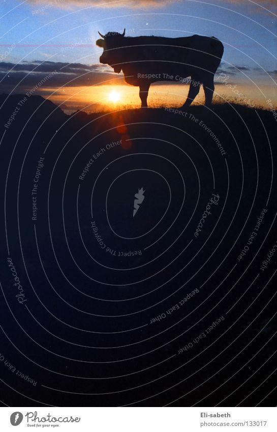 Sonnenaufgang Alm ruhig Kuh Tier Kalb Sommer Berge u. Gebirge Säugetier Himmelskörper & Weltall Natur Silhouette