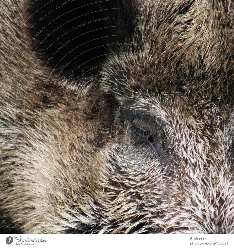 Sauerei Schwein Wildnis Wildschwein Eber Schweinerei Metzger Jäger Tier Fell Borsten hören Schweinekopf Säugetier Bart Wildtier Jagd Natur borstig Ohr Auge