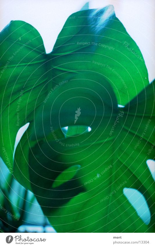 jungleroom Pflanze Blatt Gegenlicht Palmenwedel grün Tag