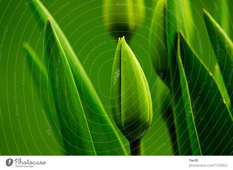 ton in ton Tulpe Frühling saftig grün Hoffnung Wunsch Sommer Blüte geschlossen aufwachen Blattgrün Wachstum sprießen gedeihen Stil Design Makroaufnahme Wiese