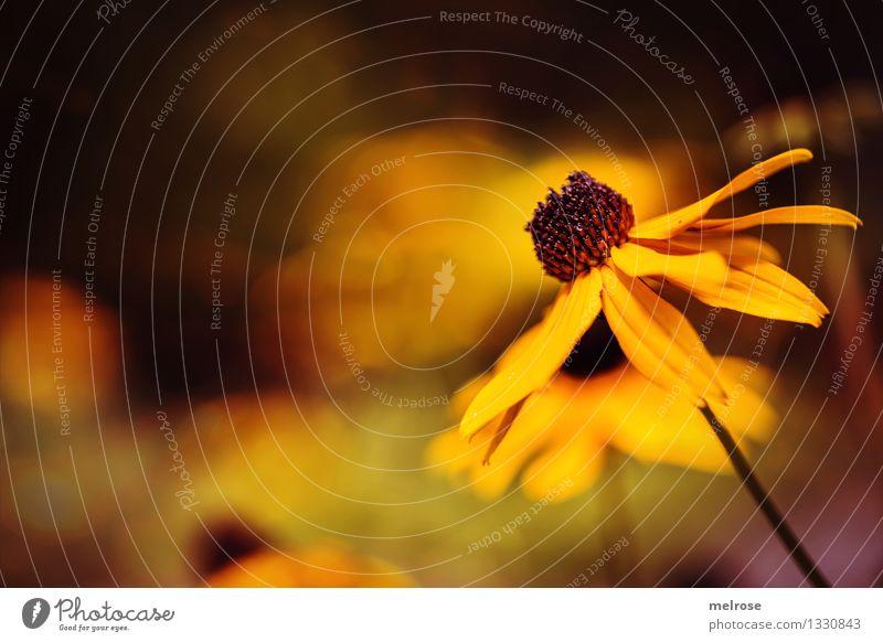 Sonnenhut steht mir gut elegant Stil Umwelt Natur Erde Sommer Schönes Wetter Blume Sträucher Blüte Sonnenhut gelb Korbblütler Zierpflanze Garten Blühend