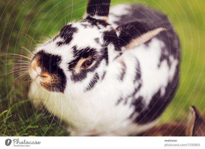 bin schon putzmunter Natur Sommer Schönes Wetter Gras Wiese Haustier Fell Zwergkaninchen Hasenohren Schnauze Säugetier 1 Tier Hasenlöffel Hase & Kaninchen